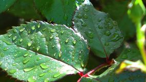 Water Raindrops on Green Leaves Plant in Nature. Video stock video footage