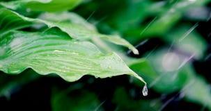 Water raining on fresh green leaves. Closeup stock footage