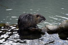 Water rat. In mountains of Caucasus, Russia Stock Image