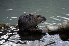 Water rat Stock Image