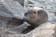Water rat eating at the river Royalty Free Stock Images