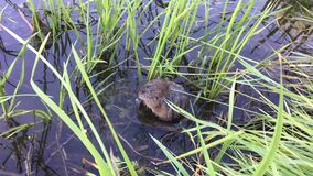 Water rat in shallow water of river