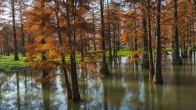 Water red forest. Is located in Qingxi Country Park, southwest of Shanghai, China. Autumn is the most beautiful season here. The leaves of Iyquois, Metasequoia Stock Images