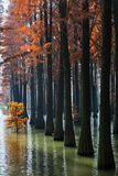 Water red forest. Is located in Qingxi Country Park, southwest of Shanghai, China. Autumn is the most beautiful season here. The leaves of Iyquois, Metasequoia Stock Photography