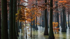 Water red forest. Is located in Qingxi Country Park, southwest of Shanghai, China. Autumn is the most beautiful season here. The leaves of Iyquois, Metasequoia Royalty Free Stock Photo