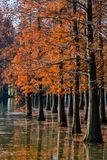 Water red forest. Is located in Qingxi Country Park, southwest of Shanghai, China. Autumn is the most beautiful season here. The leaves of Iyquois, Metasequoia Royalty Free Stock Photography