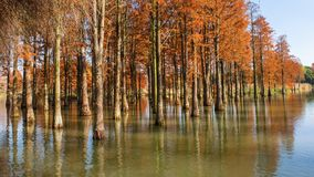 Water red forest. Is located in Qingxi Country Park, southwest of Shanghai, China. Autumn is the most beautiful season here. The leaves of Iyquois, Metasequoia Royalty Free Stock Photos