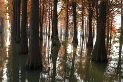 Water red forest. Metasequoia Inverted reflection in water, Dyed, country. Water Red Forest is located in Qingxi Country Park, southwest of Shanghai, China royalty free stock photography