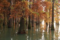 Water red forest. Metasequoia Inverted reflection in water, Dyed, country. Water Red Forest is located in Qingxi Country Park, southwest of Shanghai, China royalty free stock photo