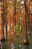 Water red forest. Metasequoia Inverted reflection in water, Dyed, country. Water Red Forest is located in Qingxi Country Park, southwest of Shanghai, China stock image