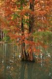 Water red forest. Metasequoia Inverted reflection in water, Dyed, country. Water Red Forest is located in Qingxi Country Park, southwest of Shanghai, China royalty free stock images