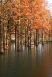 Water red forest. Metasequoia Inverted reflection in water, Dyed, country. Water Red Forest is located in Qingxi Country Park, southwest of Shanghai, China stock photo