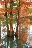 Water red forest. Metasequoia Inverted reflection in water, Dyed, country. Water Red Forest is located in Qingxi Country Park, southwest of Shanghai, China stock images