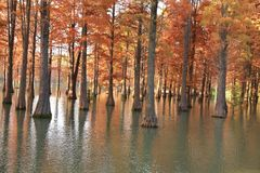 Water red forest. Metasequoia Inverted reflection in water, Dyed, country. Water Red Forest is located in Qingxi Country Park, southwest of Shanghai, China stock photography