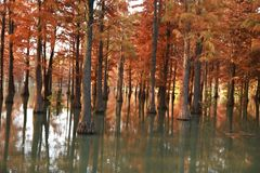 Water red forest. Metasequoia Inverted reflection in water, Dyed, country. Water Red Forest is located in Qingxi Country Park, southwest of Shanghai, China royalty free stock photos