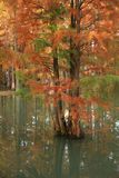 Water red forest. Metasequoia Inverted reflection in water, Dyed, country. Water Red Forest is located in Qingxi Country Park, southwest of Shanghai, China royalty free stock image