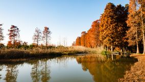 Water red forest. Is located in Qingxi Country Park, southwest of Shanghai, China. Autumn is the most beautiful season here. The leaves of Iyquois, Metasequoia Stock Photos