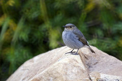 Water Redstart Stock Foto's
