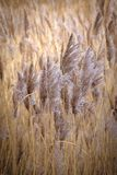 Water reed growing in Norfolk, UK. royalty free stock photography