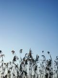 Water reed over sky background. During autumn Stock Images