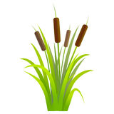 Water Reed Plant Cattails Green Leaf. Vector Royalty Free Stock Images