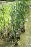 Water reed Royalty Free Stock Images
