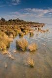 Water Reeds Stock Photos