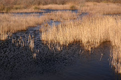 Water with reeds Royalty Free Stock Images