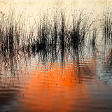 Water reeds in lake at sunset Royalty Free Stock Image