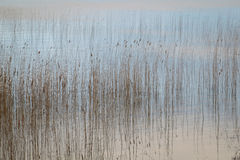 Water and reeds Stock Image