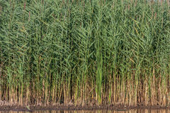 Water and reeds Royalty Free Stock Photography