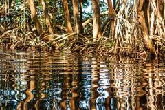 Water reflecting mangrove trees roots, Celestun, Yucatan, Mexico stock photography