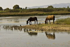 Water reflection in a horse grazing Stock Image