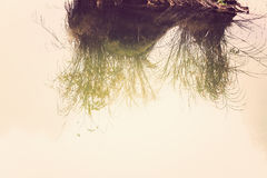 Water reflection of long grass plant and rock Royalty Free Stock Photography