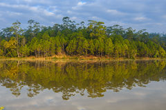Water reflection of pine tree. In reservior Royalty Free Stock Images