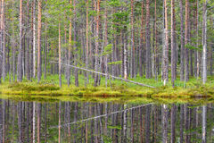 Water reflection of pine trees forest in a lake. Water reflection of a pine tree forest in the lake Royalty Free Stock Image