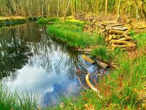 Water reflection of trees in a pool Royalty Free Stock Images