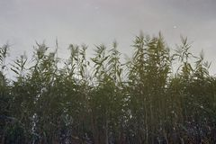 Water reflection of swamp reeds and small fish stock images