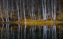 Water reflections of autumn birch. Trees in lake royalty free stock photo