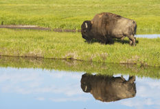 Water reflections of a Bison in early morning light. Royalty Free Stock Photography