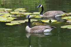 Water reflections of Canada Geese swimming. Royalty Free Stock Photo