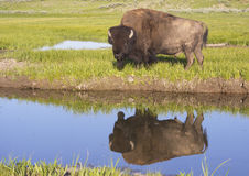 Water reflections of a large Bison in Yellowstone. Stock Image