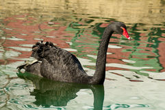 Water reflections surround a black swan. Stock Image