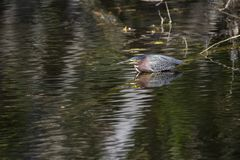 Water reflexion of a green heron. In a swamp at Florida Everglades Big Cypress National Preserve Royalty Free Stock Images
