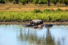 In the water, resting hippos Stock Photos