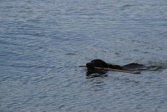Water Retrieve. Black Labrador Retriever fetches a stick from the ocean stock image