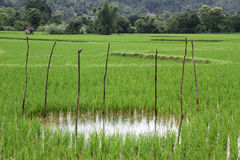 Water on the rice field Royalty Free Stock Photos