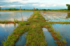 Water in the rice field. Water and the bird in the rice field Royalty Free Stock Photography