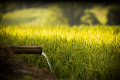 Water and Rice is importance For Life Royalty Free Stock Photography