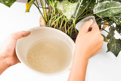 Water from rice rinse being used as natural fertilizer on potted plant Stock Photos